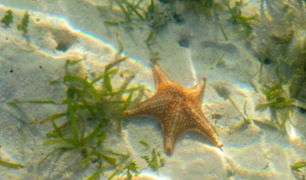 Panama red stars in bocas del toro beach
