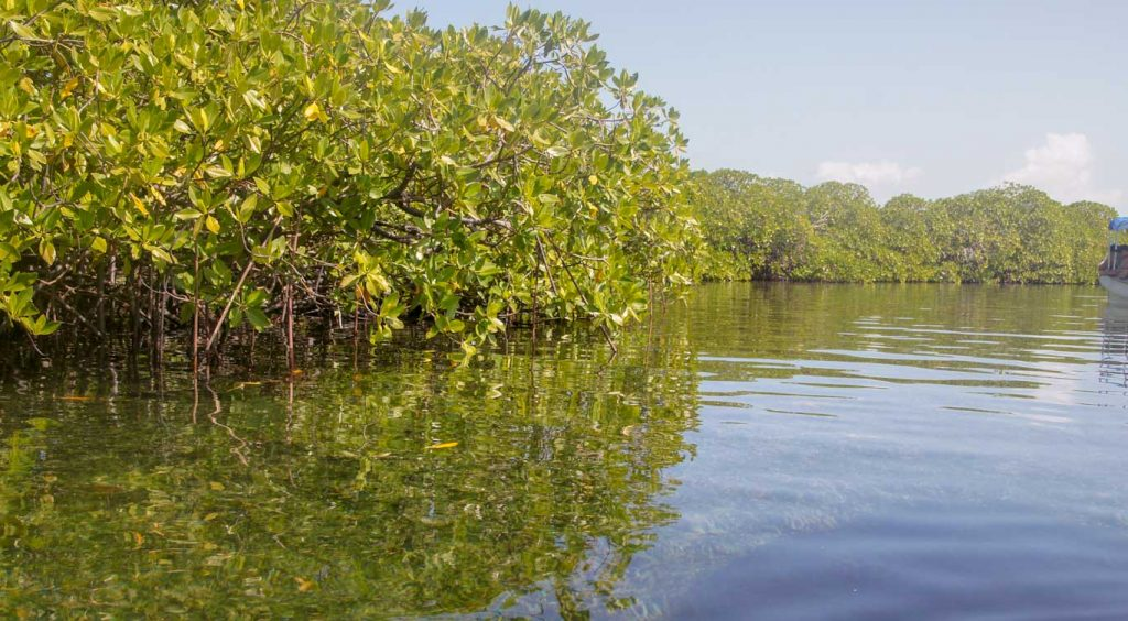 mangrove in bocas del toro islands