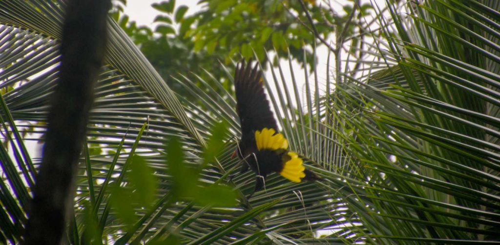 Yellow bird into the rainforest near panama canal