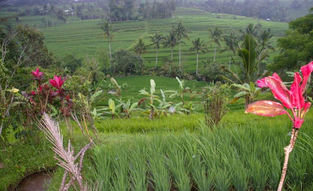 Going from Java to Bali and how to visit North Bali Explore rice terraces
