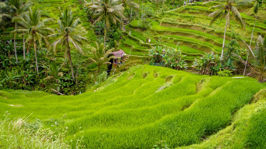 Bali center tour - What to see around Ubud Rice terraces
