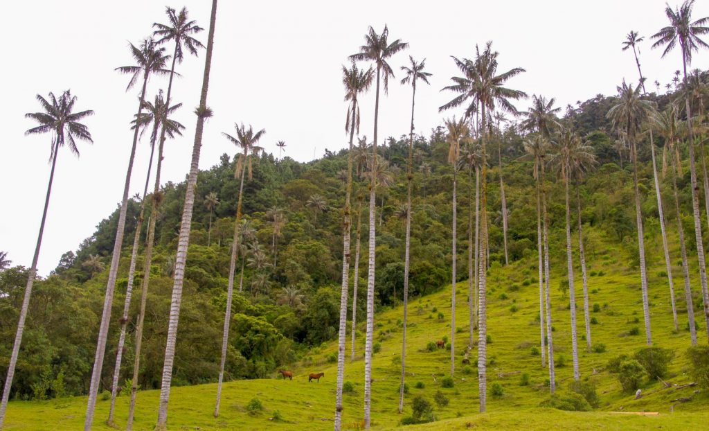 beautiful cocora valley in colombia